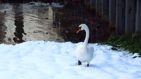 Cisne que procura pelo alimento na costa na neve durante o inverno Fotografia de Stock