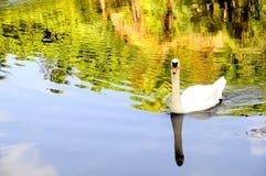 Cisne que refleja en el lago Fotos de archivo