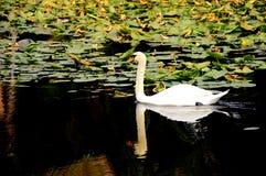 Cisne que refleja en el lago Imagen de archivo libre de regalías