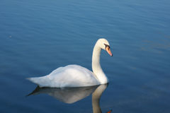 Cisne que reflete no lago Imagem de Stock