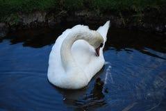 A cisne que Ruffling suas penas na lagoa rasa molha imagem de stock royalty free