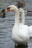 Cisne que se coloca en agua y que mira la cámara Fotografía de archivo