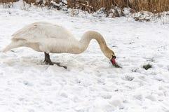Cisne que se coloca en la nieve imágenes de archivo libres de regalías