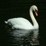 Cisne que se desliza en el lago Fotos de archivo libres de regalías