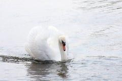 Cisne que se desliza a través del agua Fotos de archivo libres de regalías