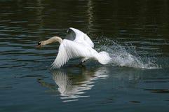 Cisne que se ejecuta en el agua fotografía de archivo