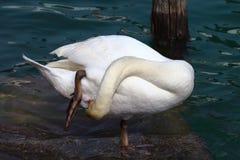 Cisne que se lava Imagen de archivo