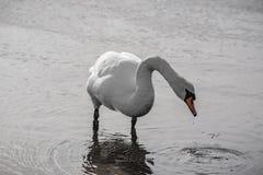 Cisne que se levanta Fotografía de archivo libre de regalías