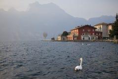 Cisne que se pregunta Imagenes de archivo