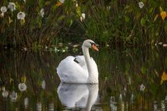 Cisne que se relaja en la charca Foto de archivo