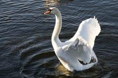 Cisne que separa sus alas Fotografía de archivo libre de regalías