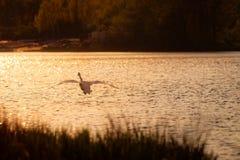 Cisne que vuela sobre el lago en la puesta del sol Imagen de archivo