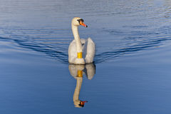 A cisne real Fotos de Stock Royalty Free
