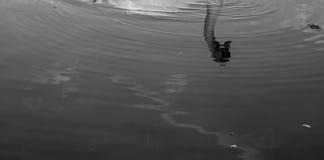 Cisne Refelction Imagen de archivo libre de regalías