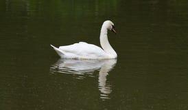 Cisne Refelction na água Fotografia de Stock Royalty Free