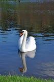 Cisne reflejado en el agua Foto de archivo
