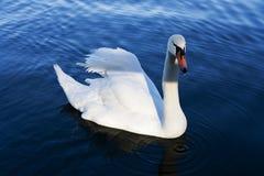 Cisne só fotos de stock royalty free