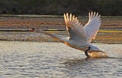 Cisne salvaje Foto de archivo libre de regalías