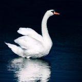 Cisne salvaje Imagen de archivo