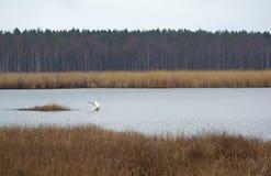 Cisne salvaje en el lago Slokas Foto de archivo