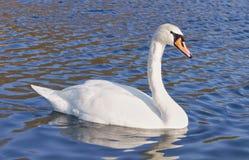 Cisne salvaje hermoso Fotografía de archivo libre de regalías