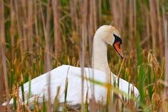 A cisne selvagem da matriz cai adormecido no ninho Foto de Stock