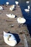 Cisne sincero blanco Foto de archivo