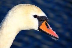 Cisne sincero blanco Fotografía de archivo libre de regalías