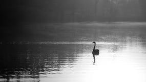 Cisne a solas en el amanecer Imagen de archivo libre de regalías