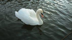 Cisne solitária Foto de Stock Royalty Free