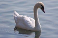 Cisne solitária Fotografia de Stock