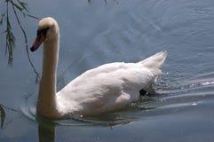 Cisne solitária Fotos de Stock Royalty Free