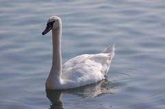 Cisne solitária Imagens de Stock