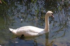 Cisne solitária Fotografia de Stock Royalty Free