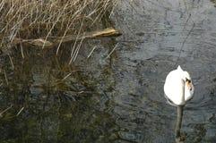 Cisne solitária, bispos Waltham, Southampton, Inglaterra Imagem de Stock