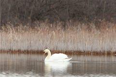 Cisne solitária em uma lagoa Foto de Stock