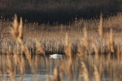 Cisne solitária em uma pesca da lagoa para o alimento Imagens de Stock