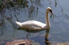 Cisne solitária IV Fotografia de Stock Royalty Free