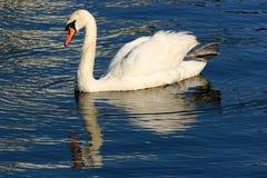 Cisne solitário fotografia de stock