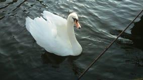 Cisne solitario Fotos de archivo libres de regalías
