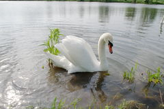 Cisne solitario Fotografía de archivo libre de regalías