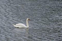 Cisne solitario Imagen de archivo