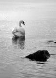 Cisne solitario en el agua imagenes de archivo
