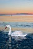 Cisne solo Foto de archivo libre de regalías