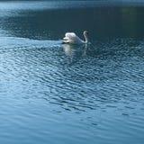 Cisne solo Fotografía de archivo
