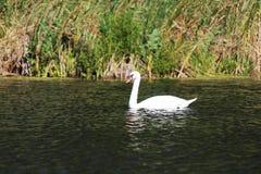 Cisne solo Imagen de archivo libre de regalías