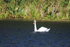 Cisne solo Imagen de archivo