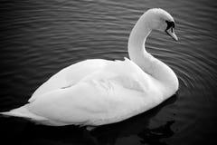 Cisne solo, mirando en la cámara, blanco y negro Fotografía de archivo