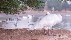 Cisne tranquilo Imagen de archivo libre de regalías