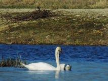 Cisne travieso en la laguna imagenes de archivo